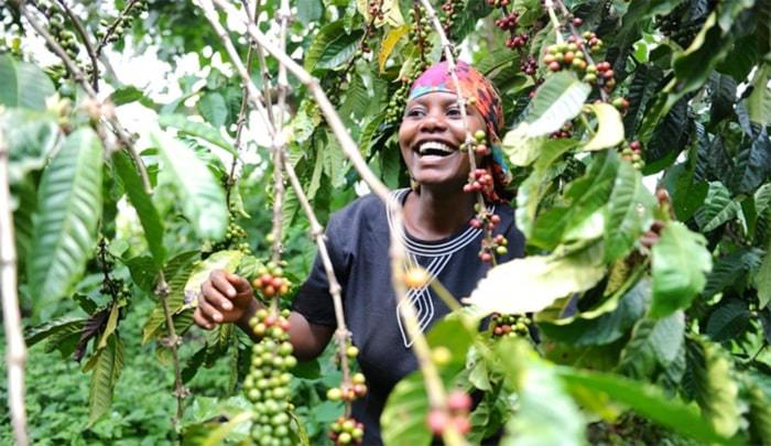 coffee production in africa